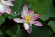 Symbolisme de la Fleur de Lotus