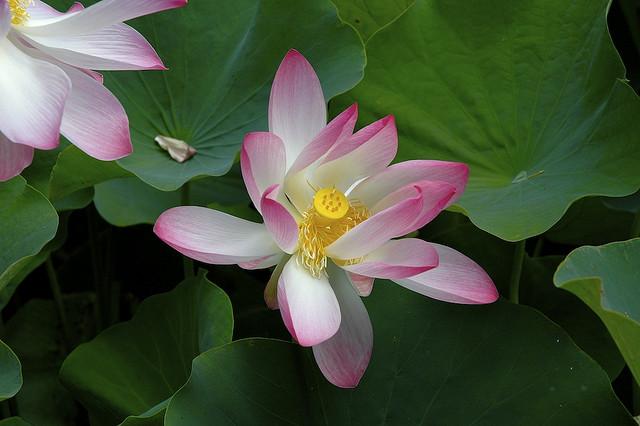 le symbolisme de la fleur de lotus couleurs zen. Black Bedroom Furniture Sets. Home Design Ideas