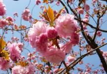 Japon 2014 - Cerisiers Asakusa