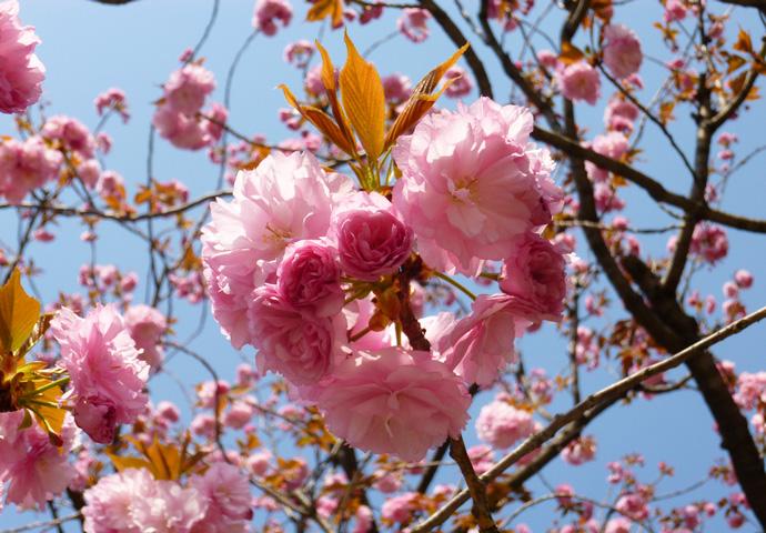 Le printemps des cerisiers au japon couleurs zen - Greffe du cerisier au printemps ...