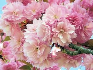 Bouquet de fleur de cerisier
