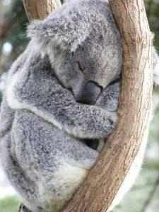 Dormir comme le Koala