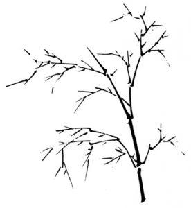 Bambou - Rameaux alternés